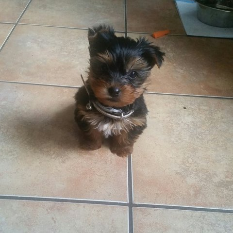 Meet My Mini Yorkie Cooper Also I Need Everything On Depop